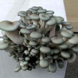 OYSTER - BLUE (PLEUROTUS COLUMBINUS)