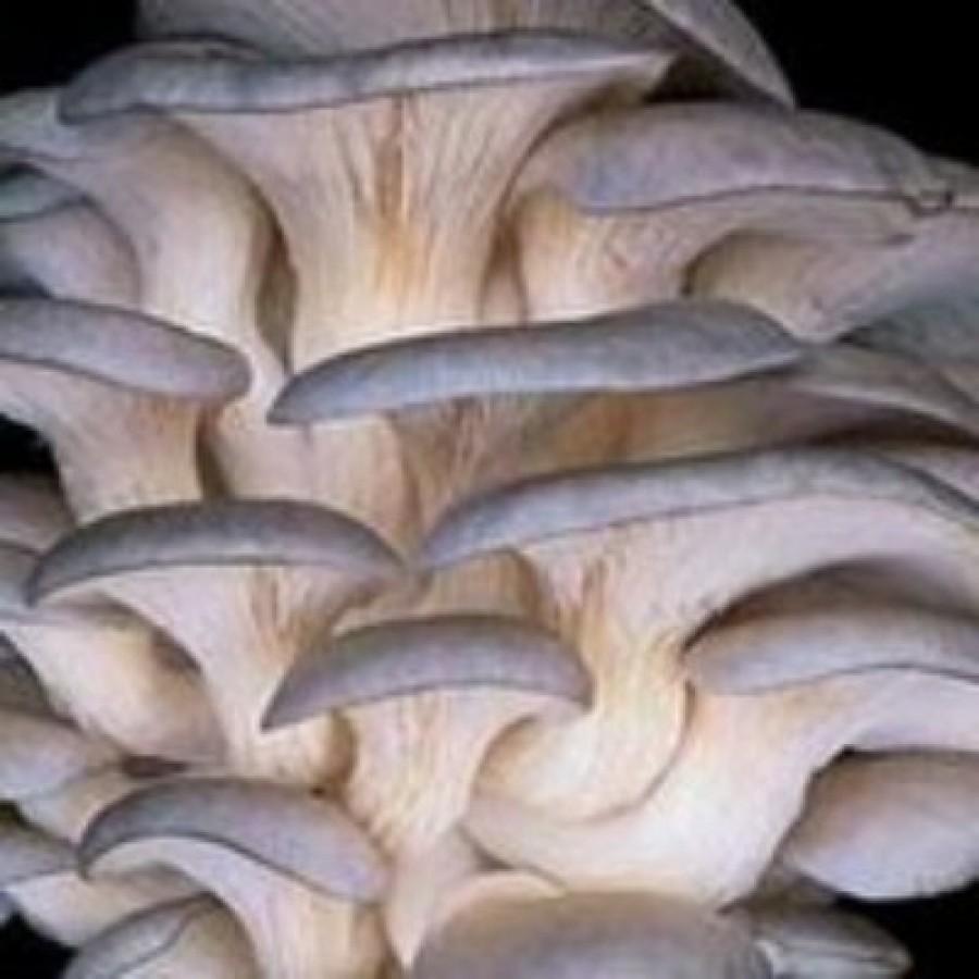 Oyster dhingri pleurotus sajor caju - Growing oyster mushrooms profit ...